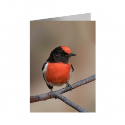 Red-capped Robin – Greeting Card