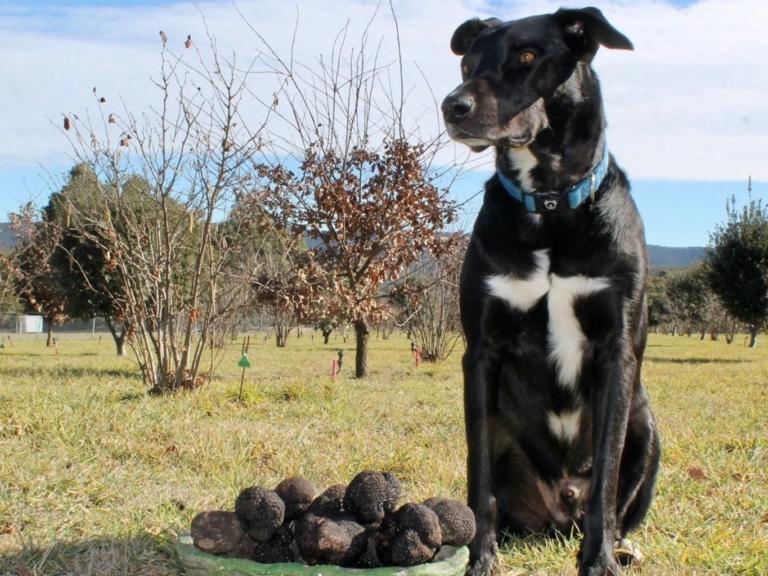 Zazu the Truffle Dog