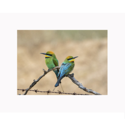 Rainbow Bee-eater Pair – 12 x 18cm Print
