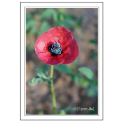 Red Poppy Photo Greeting Card