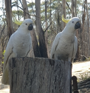 The pair of Sulfur Crested Cockatoos that nest here each year are here again. Last year, their nesting tree near the dam burned fiercely, proving it uninhabitable. They have found a new nesting tree - obviously one that had a fire in it (as seen by the chest of the bird above). So springtime and summer should see a new group of baby cockatoos!