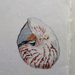 Nautilus Shell Sketch