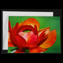 Flower Greeting Card – Orange Ranunculus