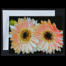 Flower Greeting Card – Double Pink Gerberas with raindrops