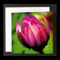 Flower Greeting Card – Purple Osteospermum