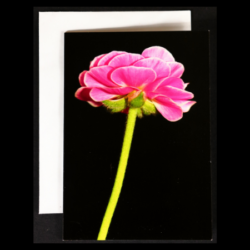 Flower Greeting Card – Pink Ranunculus