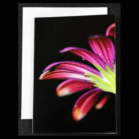 Greeting card with Purple Osteospermum on Black Background