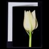 Greeting card - White Tulip on Black Background