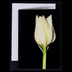 Flower Greeting Card – White Tulip on Dark Background
