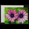 Greeting card with Double Purple Osteospermum