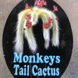 Monkey's Tail Cactus